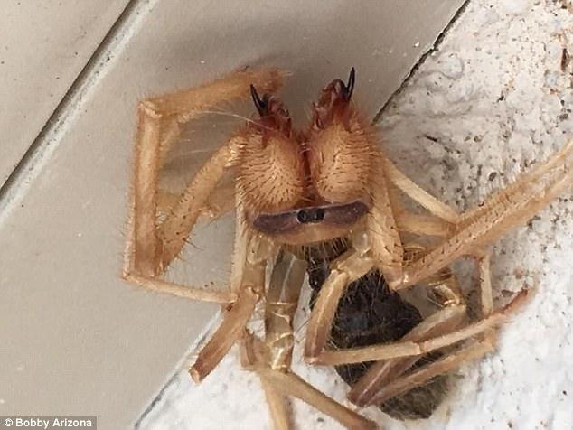 """Τρομακτικό"""" πλάσμα μισό αράχνη μισό σκορπιός βρέθηκε στις ΗΠΑ (Bίντεο)"""